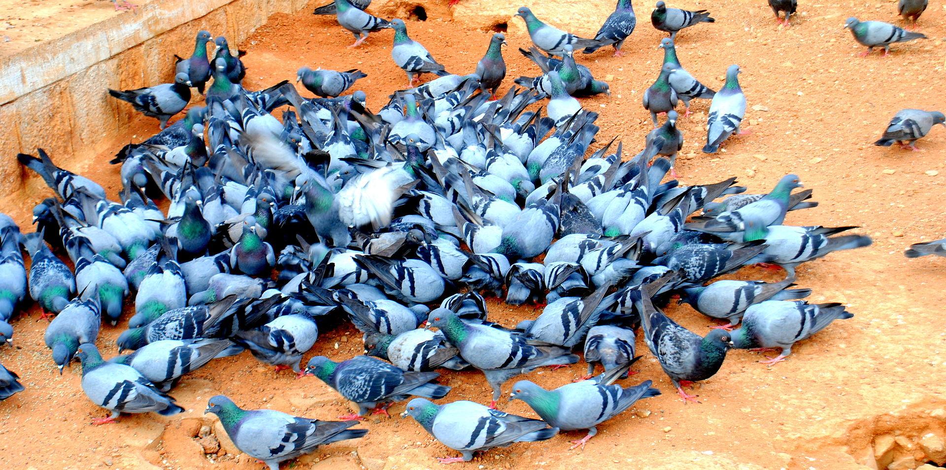 """100 Pigeons"" by Augustus Binu/ www.dreamsparrow.net/ facebook - Own work. Licensed under CC BY-SA 3.0 via Commons"